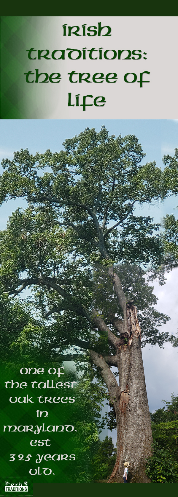 Tallest White Oak in Maryland Infograph